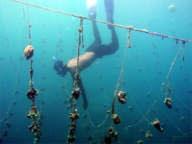 Diver with farmed sponges